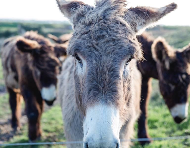 Nicht verpassen: die Esel der Ile de Ré