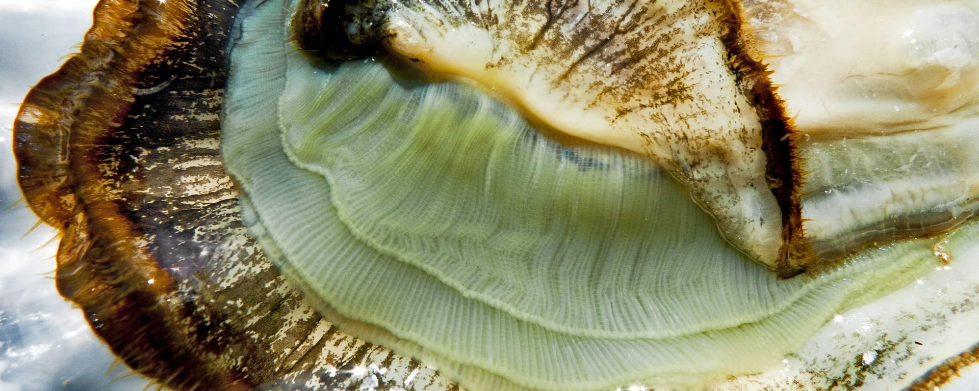 L'huître ouverte par Lesley Williamson